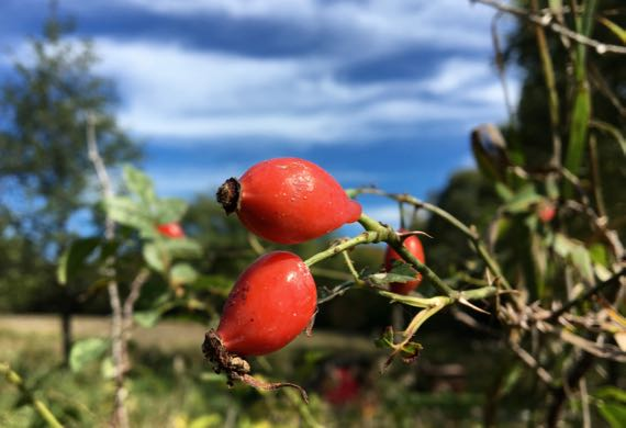 Rose hips against sky