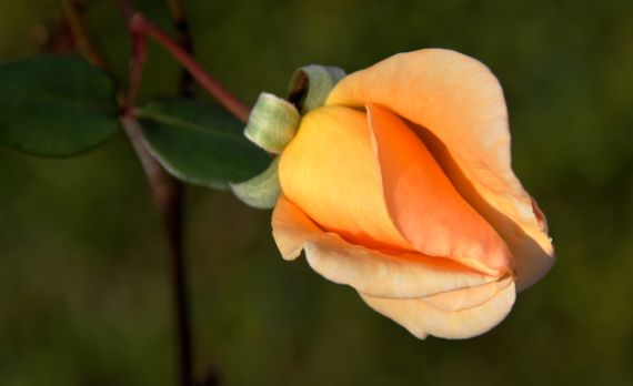 Rose tangerine in winter