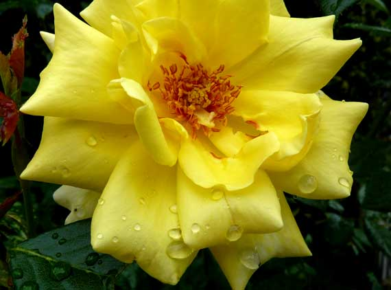 rose_yellow_raindroppy.jpg