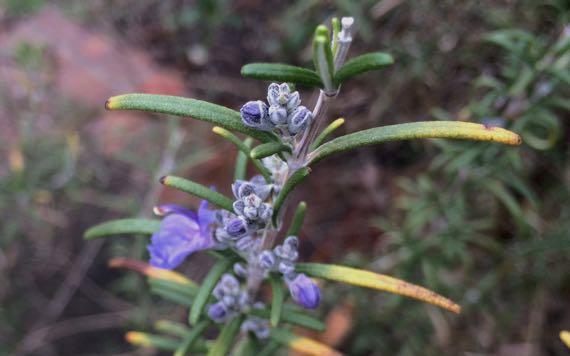 Rosemary a bloom