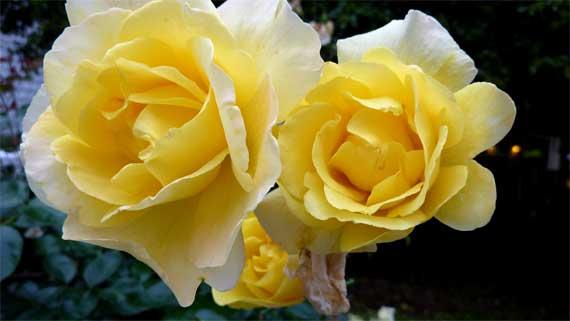 roses_yellow_pair.jpg