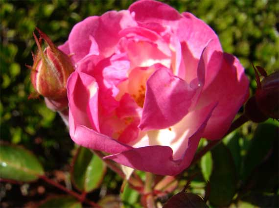 rosy_rose.jpg