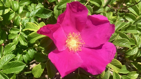 Rugosa maybe rose