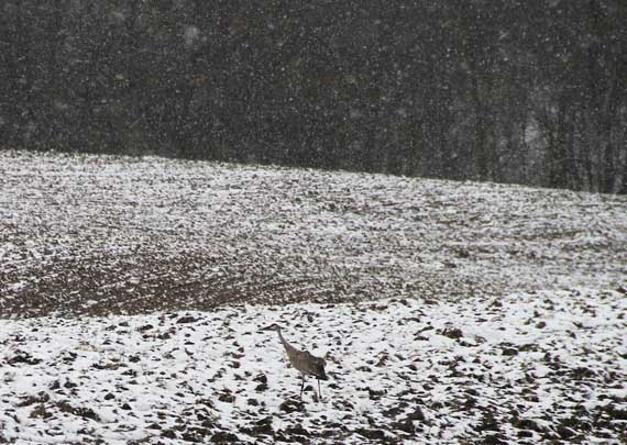 sandhill_crane_against_snow_plowed_field.jpg