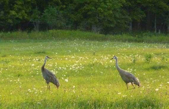 sandhill_cranes_pair_RH_field.jpg