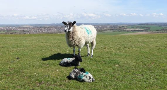 Sheep mom twins Maiden Castle