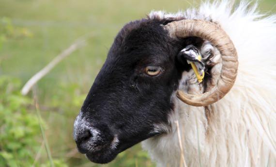 Sheep roadside