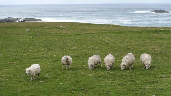 Sheep witnesses