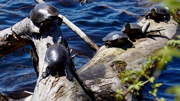 Shiny log turtles