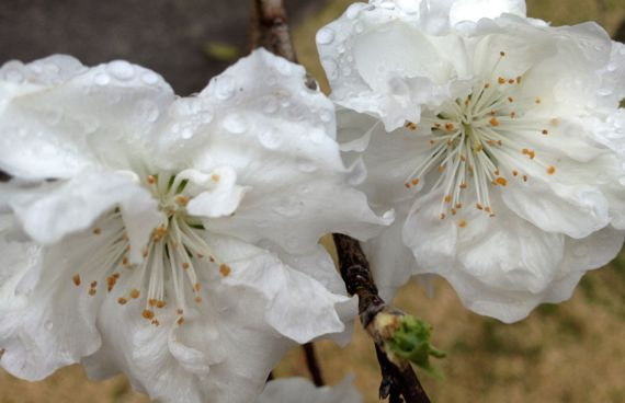 Showy malus duo