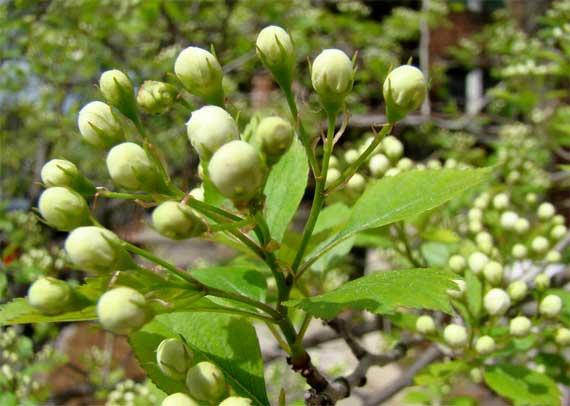 shrub_thorny_buds.jpg