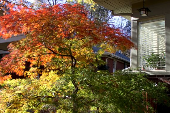Small acer palmatum in color house