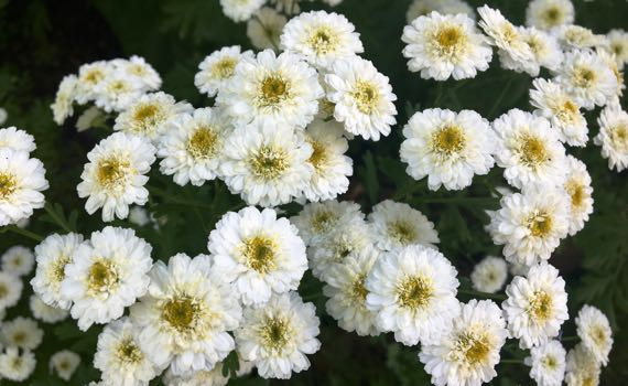 Small white feverfew maybe