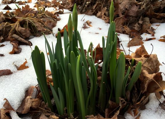 Snow daffodils in the making