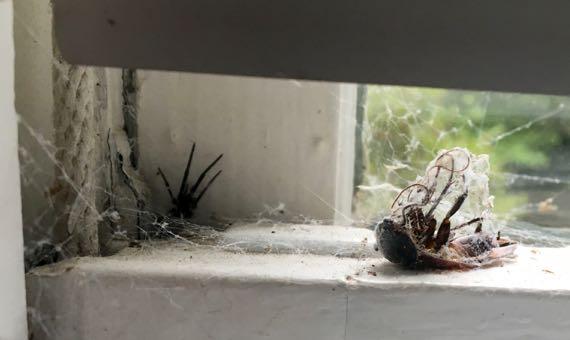 Spider cockroach