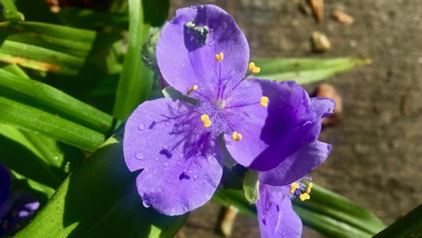 Spiderwort not dayflower