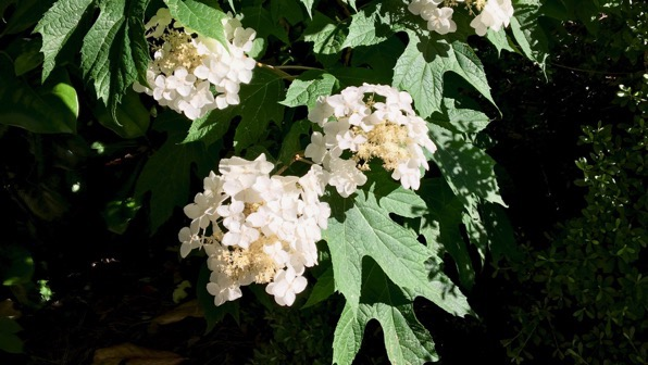 Spotlit hydrangea