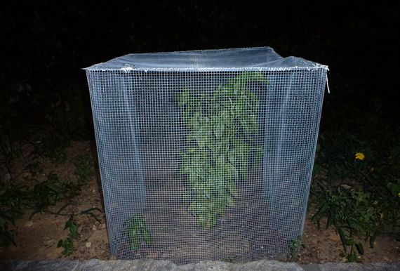 Squirrel cage with early june basil