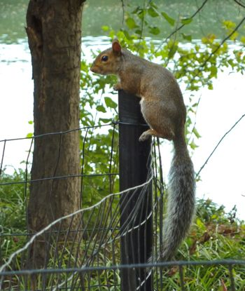 squirrel_on_fence_PiedPk.jpg