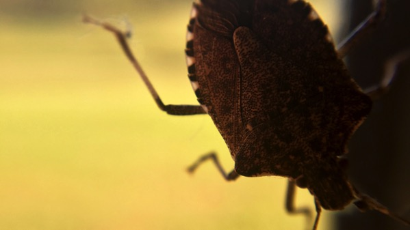 Stink bug on window