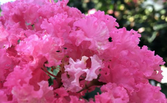 Strong pink crepe myrtle blossoms