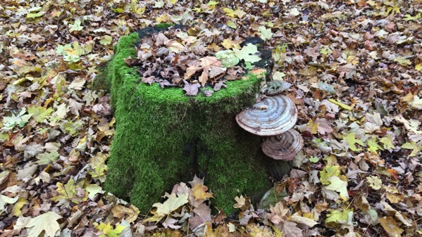 Stump shelf fungus