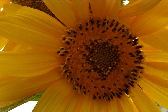 sunflower_against_bright_sky.jpg