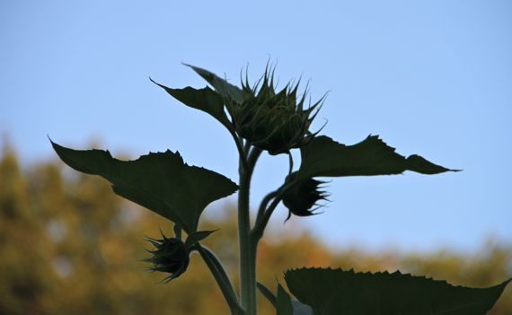 Sunflower unopened silh against sky