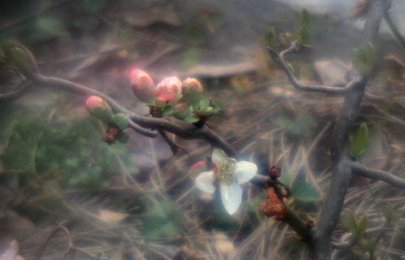 Surviving quince blooms