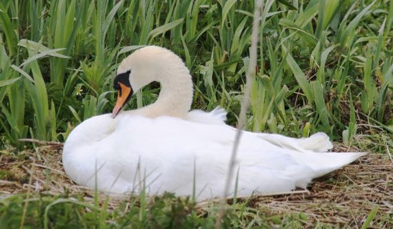 Swan babe