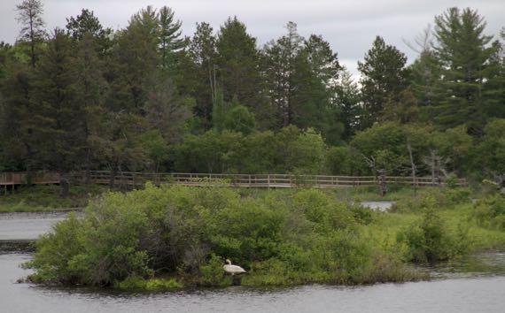 Swan nesting island SNWR