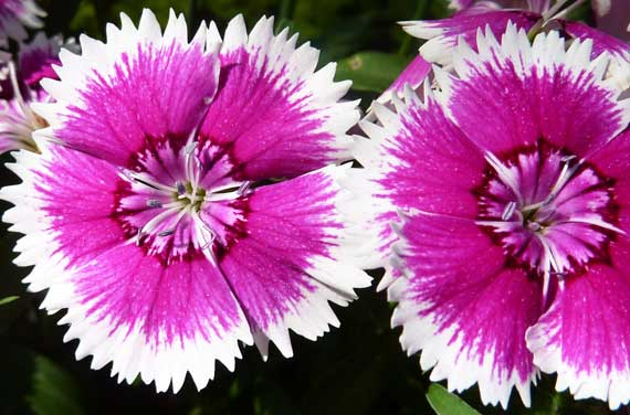 sweet_william_pink_white.jpg