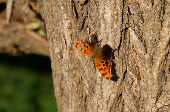 Tattered flutterby