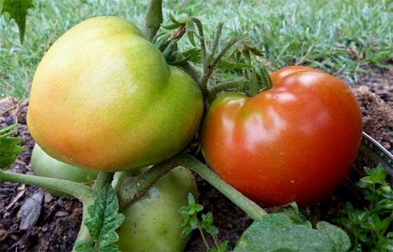 tomato_production_blush.jpg