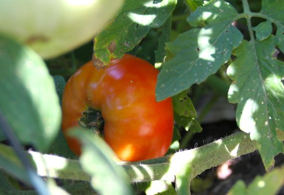 tomato_turning_red_first_2010.jpg