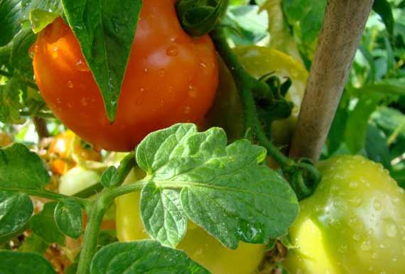 tomatoes_aripening.jpg