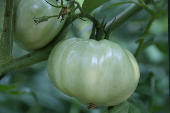 tomatoes_green_on_vine_2010.jpg
