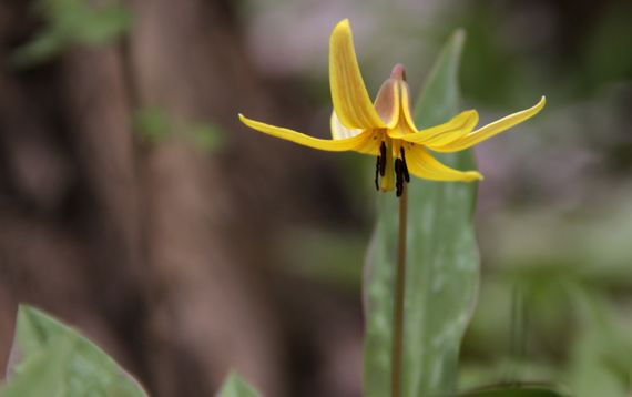 Trout lily cu