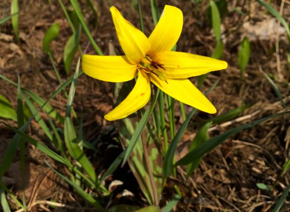 Trout lily in grass