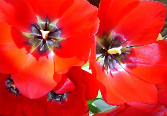tulip_red_CU.jpg