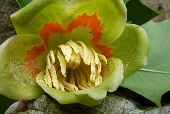 tulip_poplar_bloom_w_pollen.jpg