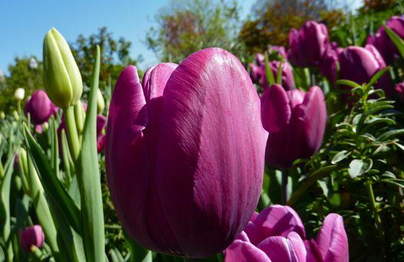 Tulips magenta multiples
