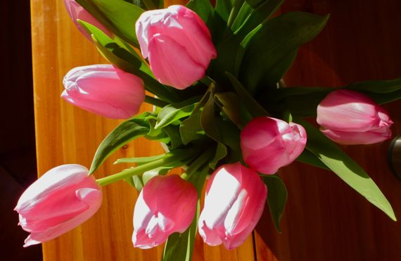Tulips pink in sunshine on UB table