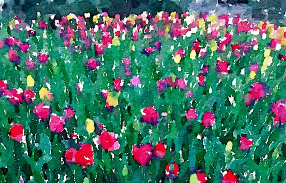 Tulips red whte