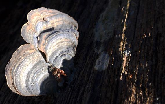 Turkey tail fungi