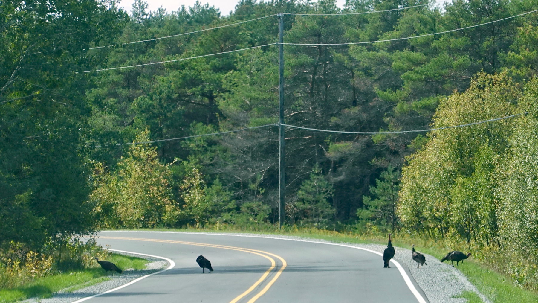 Turkeys on road