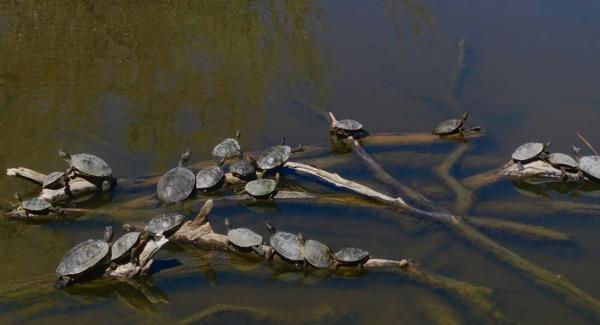 Turtle posse