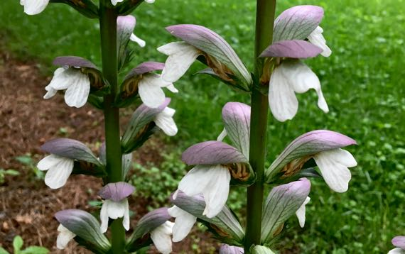Unknown flower spike