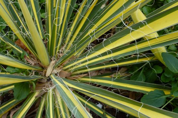 varigated_yucca_in_planter_winter.jpg