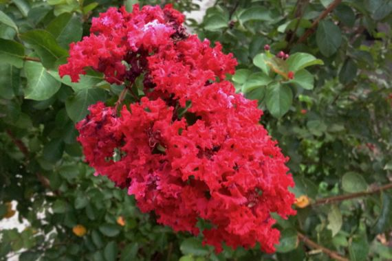 Very red crepe myrtle